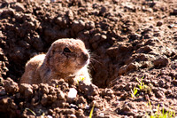 Black-tailed Prairie Dog 100fa