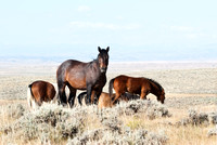 Wyoming's Mustangs