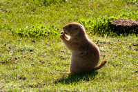 Black-tailed Prairie Dog 706